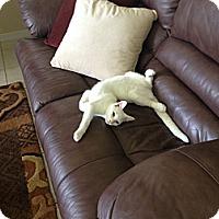 Adopt A Pet :: Angelique - Ft. Lauderdale, FL