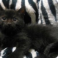 Adopt A Pet :: Natalie - Reston, VA