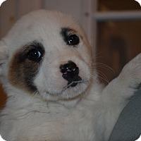 Adopt A Pet :: Clark - Westminster, CO