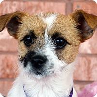 Adopt A Pet :: Skye-Adoption pending - Bridgeton, MO