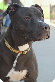 Labrador Retriever/Pit Bull Terrier Mix Dog for adoption in Yukon, Oklahoma - Prancer