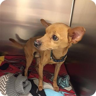 Chihuahua Dog for adoption in Westminster, California - Flash