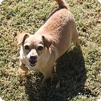 Adopt A Pet :: Sienna - Henderson, NV