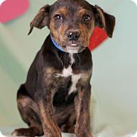 Adopt A Pet :: Joaquin - Waldorf, MD