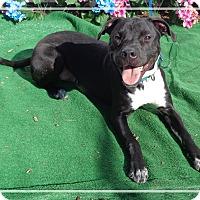 Labrador Retriever/Boxer Mix Dog for adoption in Marietta, Georgia - PUGSLY