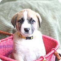 Adopt A Pet :: Conundrum - Evergreen, CO