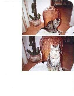 Domestic Shorthair Cat for adoption in Delmont, Pennsylvania - Tiger Girl
