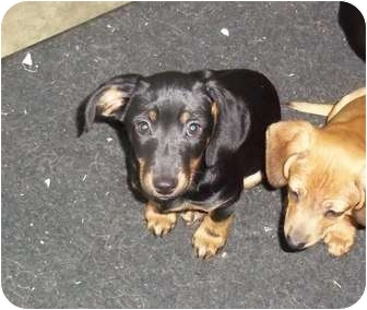 Dachshund/Chihuahua Mix Puppy for adoption in Adamsville, Tennessee - Taylor