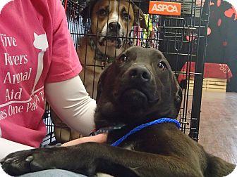 Labrador Retriever/Pit Bull Terrier Mix Dog for adoption in Pocahontas, Arkansas - Buzz