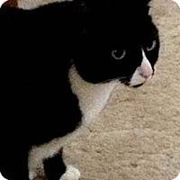 Adopt A Pet :: Boots - Reston, VA