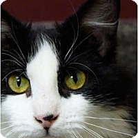 Adopt A Pet :: Elvis Presley - Chicago, IL
