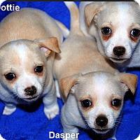 Adopt A Pet :: Dottie - Austin, TX