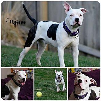 Pit Bull Terrier Dog for adoption in Sioux Falls, South Dakota - Balou
