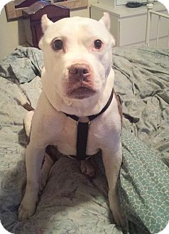 American Staffordshire Terrier/Staffordshire Bull Terrier Mix Dog for adoption in New York, New York - Layla
