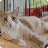Adopt A Pet :: Puff - Merrifield, VA