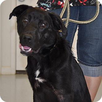Labrador Retriever Mix Dog for adoption in Sunrise Beach, Missouri - Carson
