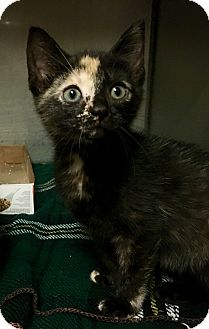 Domestic Shorthair Kitten for adoption in Wantagh, New York - Kiki