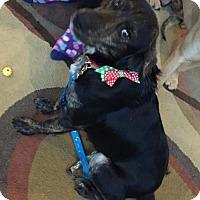 Australian Shepherd Mix Dog for adoption in Hillsboro, Missouri - Michelle