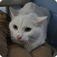 Adopt A Pet :: Simba - New Milford, CT