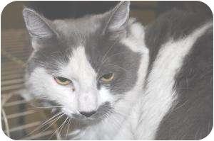 Domestic Mediumhair Cat for adoption in Chesapeake, Virginia - Eavan
