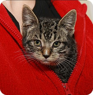 American Shorthair Kitten for adoption in Syracuse, New York - Admiral Tinybritches