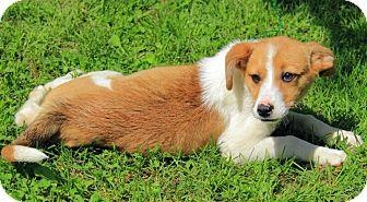 Border Collie/Australian Shepherd Mix Puppy for adoption in Staunton, Virginia - Holly