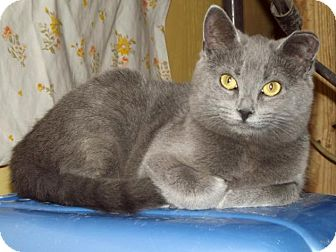 Russian Blue Cat for adoption in Shelbyville, Tennessee - Poof