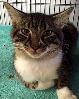 Domestic Longhair Cat for adoption in Porter, Texas - Merlin