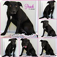 Adopt A Pet :: Peach Bellini - Mission, KS