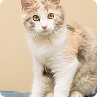 Adopt A Pet :: Calypso - Chicago, IL
