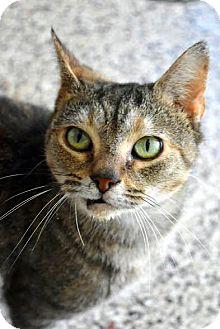 Domestic Shorthair Cat for adoption in Aiken, South Carolina - Clara