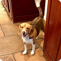 Adopt A Pet :: Penny - Mansfield, TX