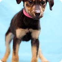 Adopt A Pet :: Brock - Waldorf, MD