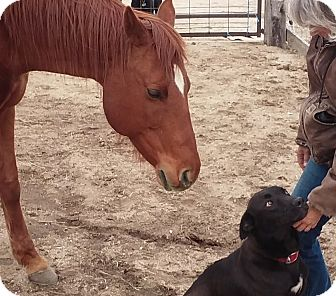 Labrador Retriever Mix Dog for adoption in Evergreen, Colorado - Kearny
