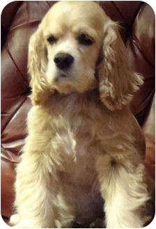 Cocker Spaniel Dog for adoption in Sugarland, Texas - Woody