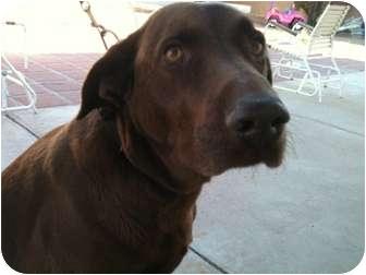 Labrador Retriever Mix Dog for adoption in Phoenix, Arizona - Duke
