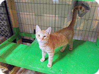 Domestic Shorthair Kitten for adoption in Catasauqua, Pennsylvania - Huey