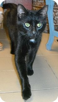 Domestic Shorthair Cat for adoption in Jackson, Michigan - Gracie