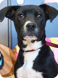 Labrador Retriever/Border Collie Mix Puppy for adoption in Red Bluff, California - Lacey