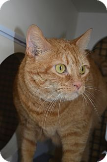 Domestic Shorthair Cat for adoption in Frederick, Maryland - Minnie