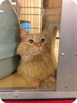 Domestic Longhair Cat for adoption in Monroe, Georgia - King