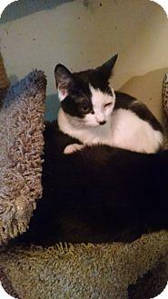 Domestic Shorthair Cat for adoption in Walla Walla, Washington - Suzie Q