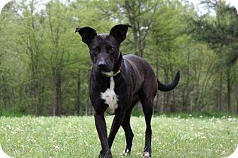 Rhodesian Ridgeback/Greyhound Mix Dog for adoption in Jefferson, Texas - Cinder