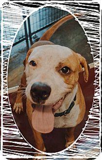 Boxer Mix Dog for adoption in Apache Junction, Arizona - Jamba