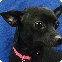 Adopt A Pet :: CJ - Lexington, KY