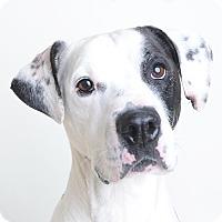 Adopt A Pet :: Zane - Wilmington, DE