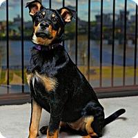 Adopt A Pet :: Lacey - Little Rock, AR