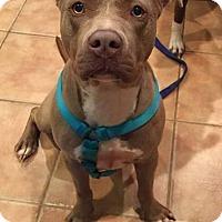 Adopt A Pet :: Anastasia - Southbury, CT