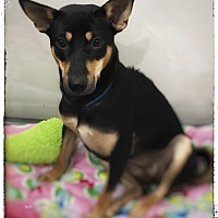 Adopt A Pet :: Talia - Sherman Oaks, CA