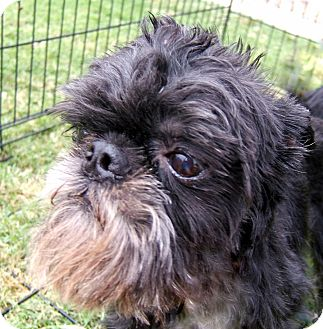 Brussels Griffon Dog for adoption in Mesa, Arizona - TAD - ADOPTION PENDING
